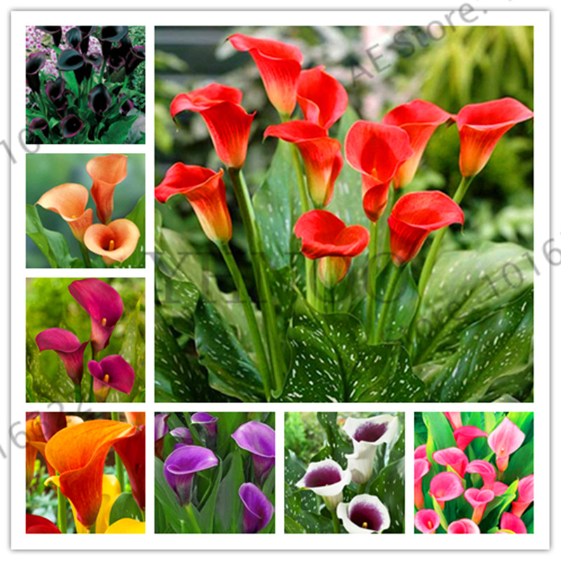 Sale!10pcs/bag mixed color calla lily seeds beautiful bonsai flower seeds Elegant noble flower rainbow calla lily for home garde