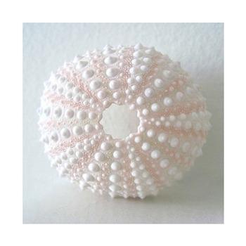 Darmowa wysyłka naturalny mały różowy jeżowca naturalne powłoki muszla plaża dekoracje ślubne przybrzeżne dekoracji wnętrz tanie i dobre opinie Organiczny materiał MEDITERRANEAN Maskotka HX HOME DECORATION