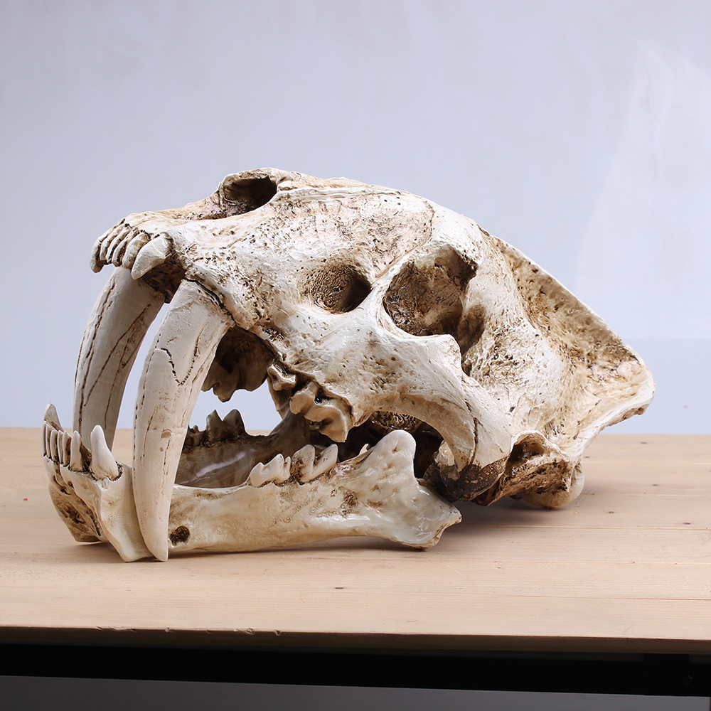 Crafts Saber-Toothed Tiger Skull Model White Medical Sketch Model For Collection Handmade Home Decoration Factory Direct Sale