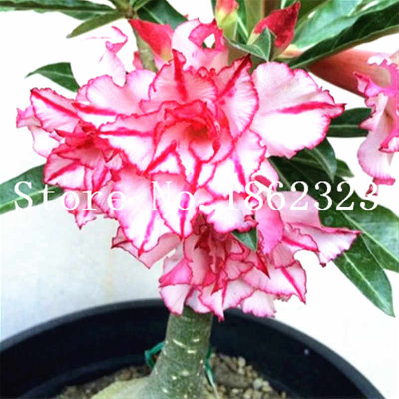 1 قطعة زهور بونساي بونساي الصحراء بونساي نبات بونساي داخلي بونساي شجرة صغيرة بوعاء لنباتات حديقة المنزل