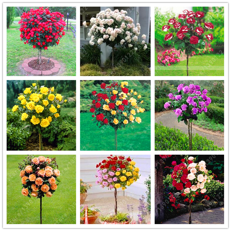100pcs/bag rose tree, rose seeds, bonsai tree flower seeds, rose tree plant Balcony & Yard potted for home garden