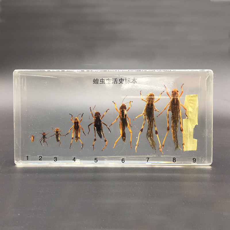 Details about life cycle of locust animal embeddedspecimen Embedding insect animal Specimen