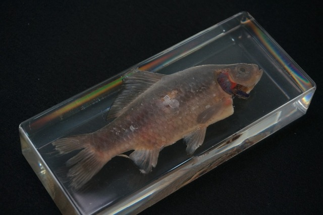 Echte Fische Anatomie Proben In Klare Lucite Block Lehrmaterial in ...