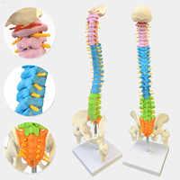 45CM z anatomią anatomiczną człowieka miednicy kręgosłupa model medyczny kręgosłupa materiały dydaktyczne dla studentów medycyny