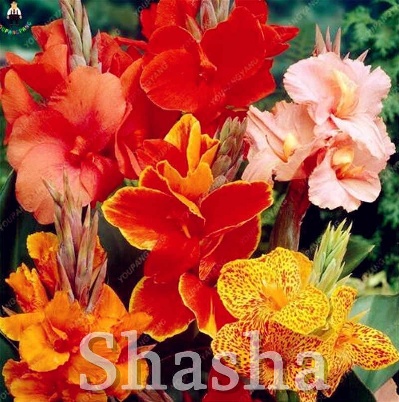 100 pçs/saco anão bonsai canna lírio ao ar livre tropical bronze escarlate folhagem perene vaso planta para casa jardim fornecimento decoração
