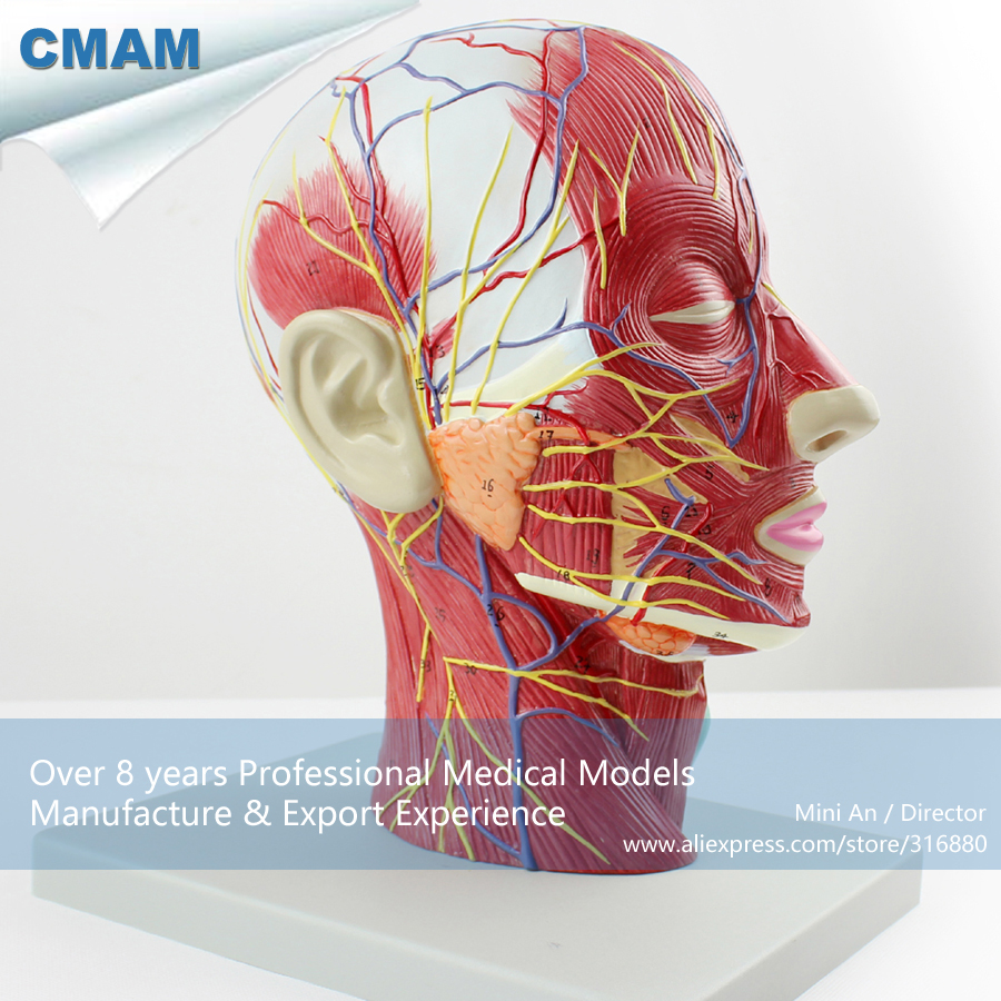 12402 CMAM BRAIN05 Right Half Human Head Neck Anatomy Model, Medical ...