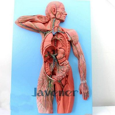 Simulation Human Anatomical Lymphatic System Anatomy Medical Model life size human anatomical duodenum anatomy medical model digestive system