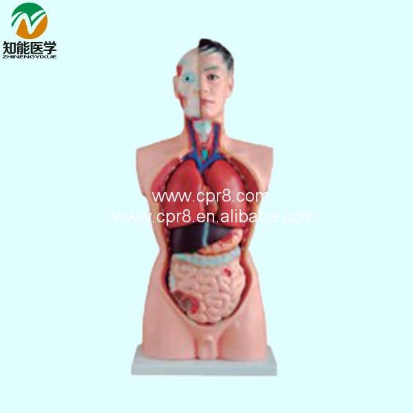 85CM Male Torso Model 19 Parts BIX-A1034 WBW039 anatomy of the torso model 85cm male torso 19 parts