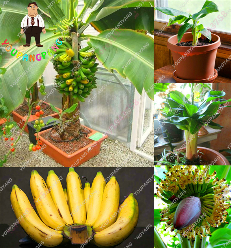100pcs/bag Rare Banana Seeds Bonsai Fruit Seeds Vegetables Organic Heirloom Sementes For Home Garden Plants Seed Japanese .