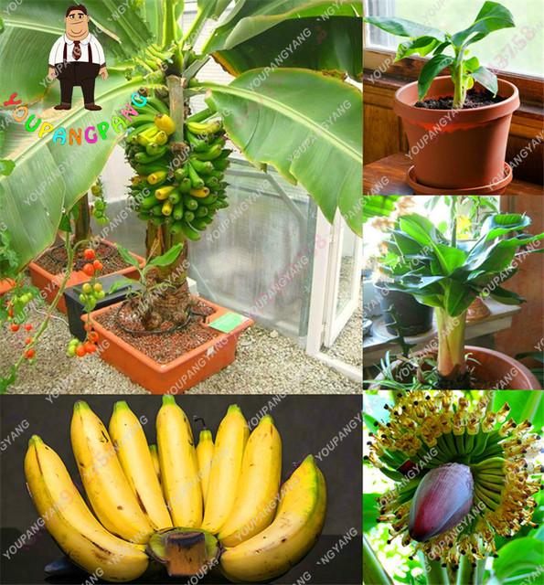 100pcs/bag Rare Banana bonsai Bonsai Fruit bonsai Vegetables Organic Heirloom Sementes For Home Garden Plants bonsai Japanese .