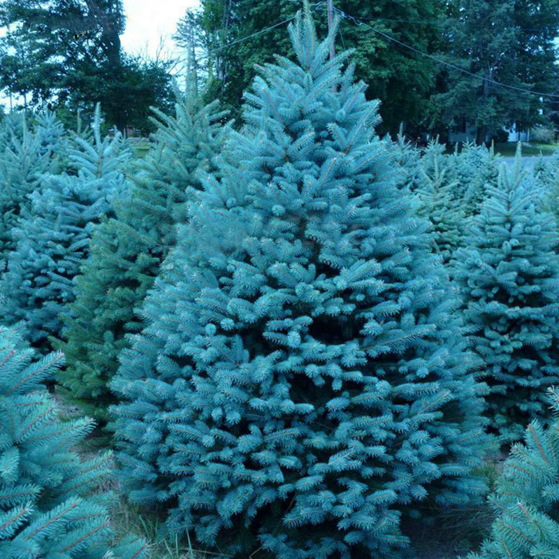 50pcs Blue Spruce Tree Picea Pungens Evergreen Bonsai Tree For Home Garden Potted Plants Planting Cold-resistant Plant