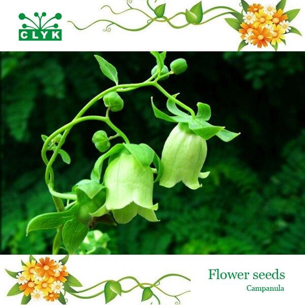 200 pcs/sac Campanula graines de fleurs, Rare jardin balcon en pot vent  carillons