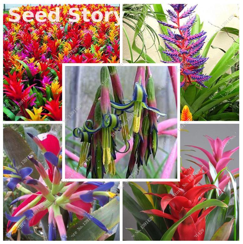 50pcs new giant bromeliads, rare Tehuacan bromeliad jui