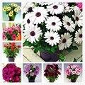 100 шт. цветок календулы, цветок бонсай, очень красивое растение бонсай для домашнего сада - фото