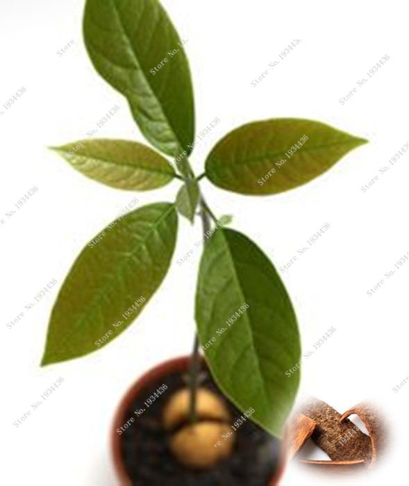 2016 Japanese cinnamon dwarf tree home garden,bonsai tr