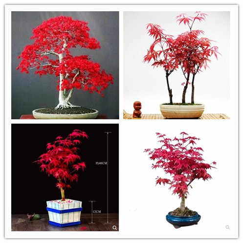 bonsai 100% True Japanese Red Maple Tree 30pcs seedsplants Very Beautiful Indoor Tree home garden decortion