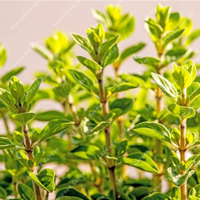ZLKING 100pcs Oregano Flower Bonsai Plants For Home Garden Plant Stand Super Natural Products Supernatural Product 5