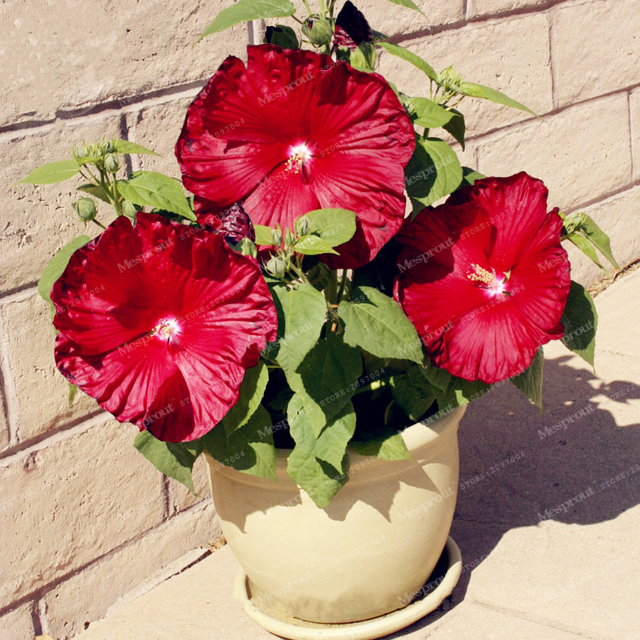 100 Pcs Giant Hibiscus Flower Seeds Hardy Rare Home Flower For Diy