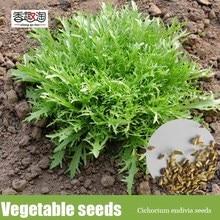 100 particles/bag Cichorium endivia seeds, salad vegetable Seeds