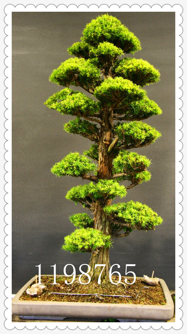 50PCS rare tree seeds for home Garden bonsai Plant JAPANESE Cedar Seeds Semillas bonsai seeds