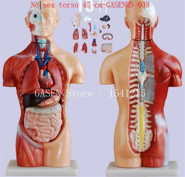 Torso kopf gehirn luftröhre speiseröhre aorta membran lunge herz ...