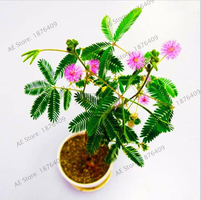 Big Sale!30pcs Bashful Grass flores Mimosa Pudica Linn, Foliage Mimosa Pudica Sensitive Bonsai Plant Home Garden Free Shipping,#