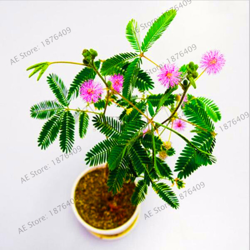 best top mimosa plant list and get free shipping - 3meficie