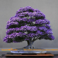 Real Japanese Purple Ghost Maple Tree Bonsai Seeds, 10 Seeds/Pack, Acer palmatum atropurpureum for Garden Planting All Season