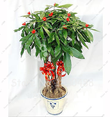 how to make your money tree jade plant bigger