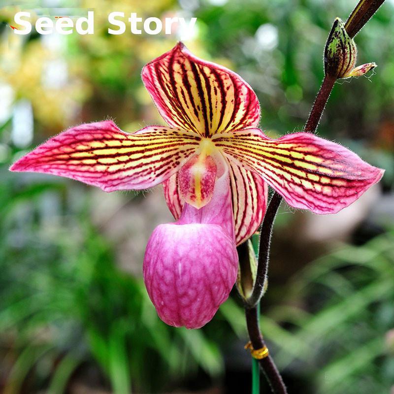 ▻100 unids/Embalaje Phalaenopsis Bonsáis semillas de orquídeas flor ...