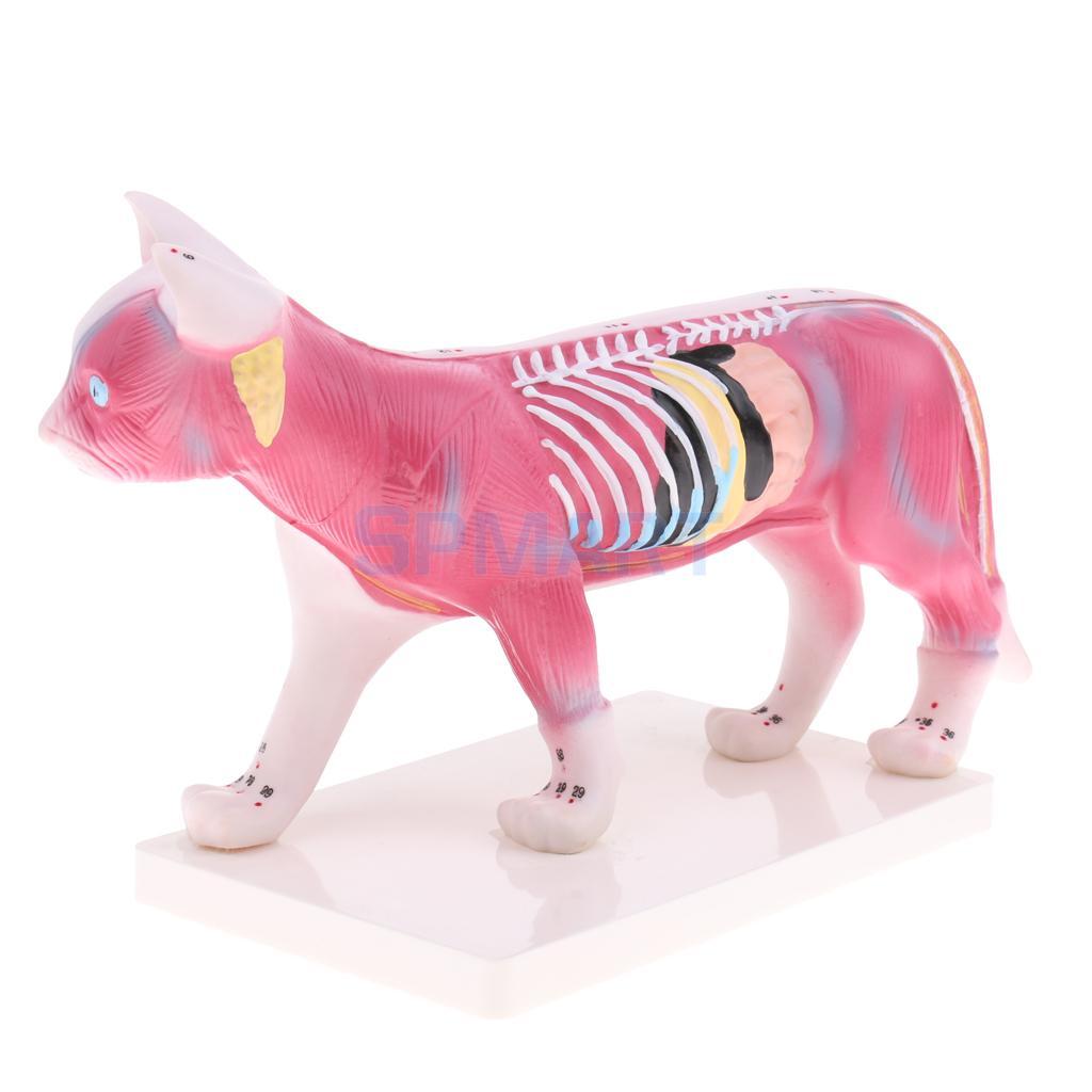 1:1 ЖИЗНЬ Размеры кошка иглоукалывание анатомическая модель с 36 акупунктурные точки профессиональное обучение инструмент Школа Лаборатори...