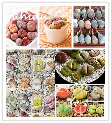 mix piedras vivas lithops semillas suculentas cactus planta suculenta jardn orgnico de