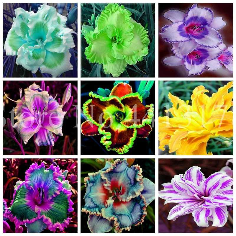 50 Pcs Special Hybrid Daylily Flowers Bonsai Hemerocallis Day Lily Indoor Jardin Potted Bloom Home Garden Plant for Flower Pot