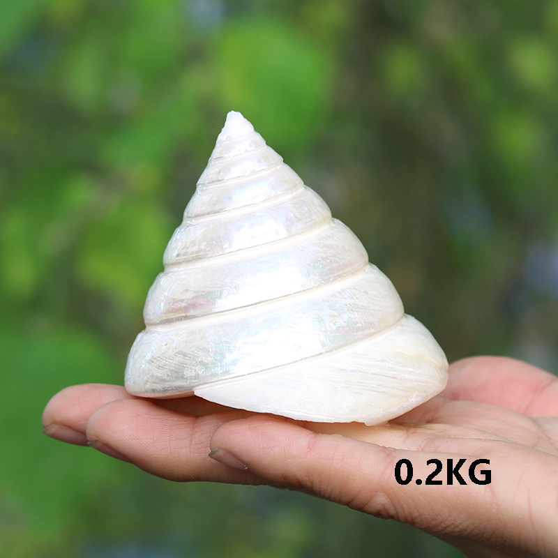 Fashion White Conch Natural Shell Conch Ice Tower Home Wedding Furnishing Pieces Fish Tank Decoration Seascape Crafts Specimens