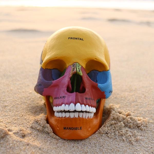 4D maestro humano colorido cráneo cerebro anatómico anatomía ...