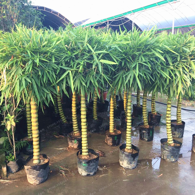 Rare Bamboo Bonsai Decorative Garden Bambusa Ventricosa Bonsai herb Bonsai Plant For DIY Home Garden 50 Pcs/Bag(China)