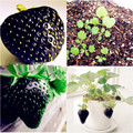 500 plant Black Strawberry Bonsai Good Taste Fruits Healthy Fresh Exotic Bonsai Easy Care Bonsai Plants For Home Garden
