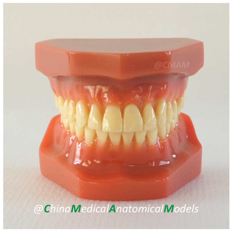 13038 DH206 Orthodontic Model, Dentist Patient Communication Oral Dental Orthodontic Model, China Medical Anatomical Model human anatomical male genital urinary pelvic system dissect medical organ model school hospital