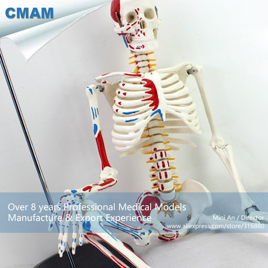 12364 CMAM-SKELETON04 Numbered Human Anatomical Painted Muscle Skeleton Model,  Medical Science Teaching Anatomical Models 1 2 life size knee joint anatomical model skeleton human medical anatomy for medical science teaching