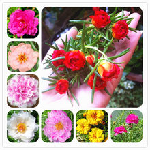 100 Pcs Mixed Color Moss-Rose Purslane Double Flower Bonsai For Planting (Portulaca Grandiflora)Heat Tolerant Easy Growing(China)