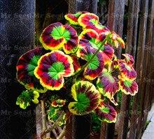 100Pcs/Bag Rare Geranium bonsai plant, Variegated potted winter garden flower plant,bonsai plant for home