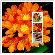 Orange Freesia Hybrida Bulbs Potted Flowers Potted Plant Roots (It Is Not Seed) -Flower Bulbs,Indoor Plant,Natural Growth 2pcs