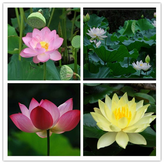 Mixed 4 Colors Xihu Lake Wild Lotus Flower Seeds Lotos For Home Garden Balcony Office,10seeds