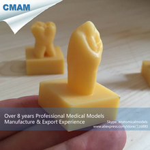 CMAM-DH411 3x Life Size Carving Guide Model for Teeth Carved Guide