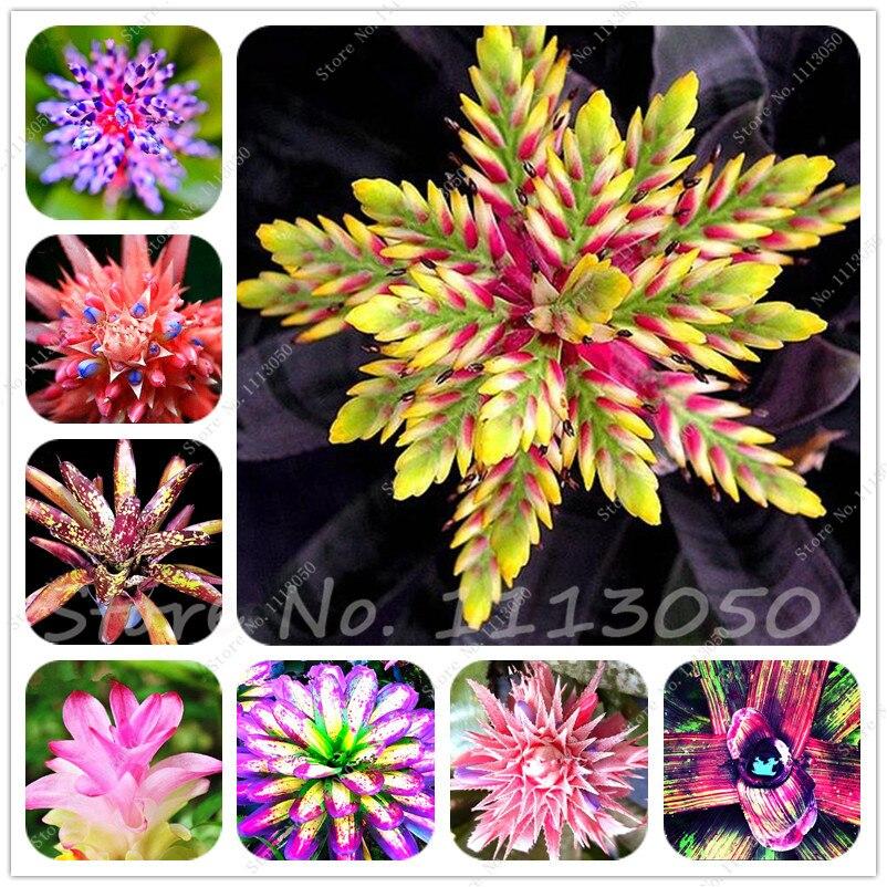 50 Seeds rare bromeliad seeds vegetable and fruit garden succulent plants Mini Cactus Pots Cheap Rainbow Children Bonsai flower