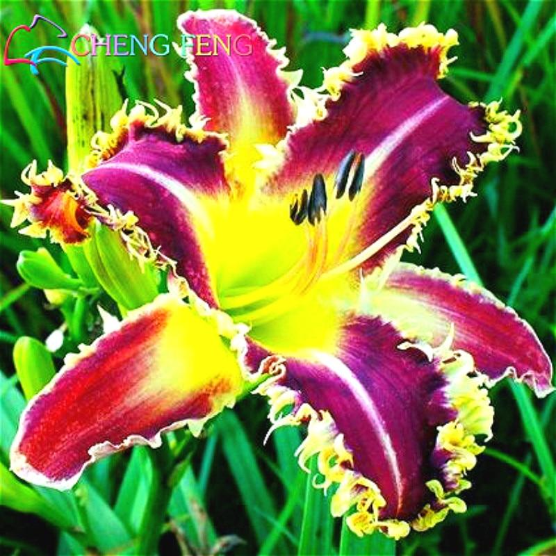 2016 Hot Selling Flower Sementes 100 Hemerocallis Seeds Mix Daylily Flowers  Offer Direct Garden Seed Rare