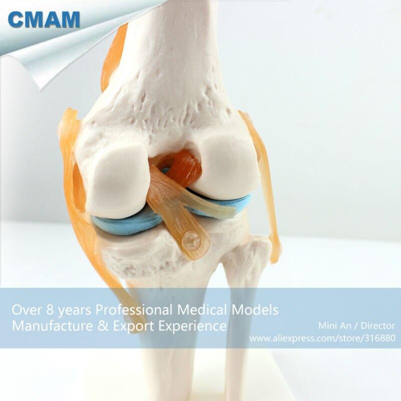 12351 CMAM JOINT05 Menschliches Skelett Kniegelenk Anatomie Modelle ...