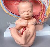 Женской репродуктивной системы Структура Модели женский сагиттальной Анатомия таза, Беременность Детские модели GASENHN 008
