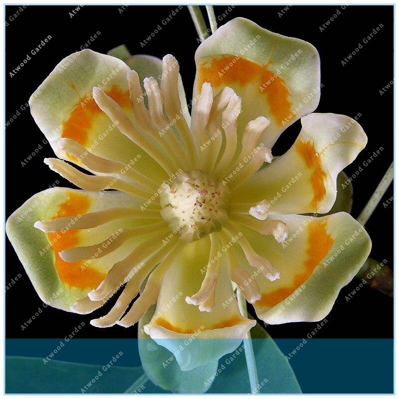 Garden Supplies Zlking Chinese Tulip Tree Semente 30pcs Plant Liriodendron Chinensis Tuliptree Home & Garden