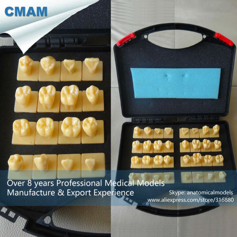 12621 CMAM-DENTAL30 Quality Resin Human Permanent Teeth Carving Models with Base for Engraving Teaching cmam nasal01 section anatomy human nasal cavity model in 3 parts medical science educational teaching anatomical models